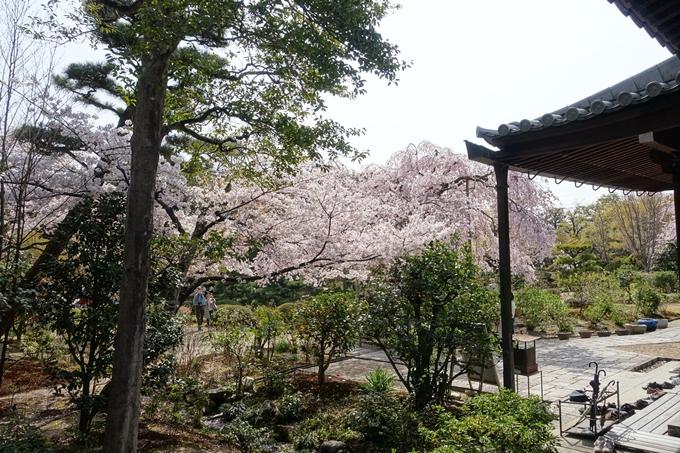 京都桜速報2018_14 No45