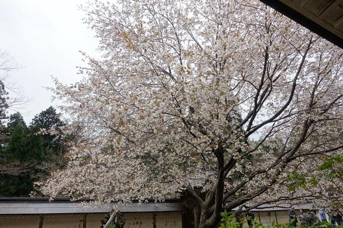 京都桜速報2018_23 No11