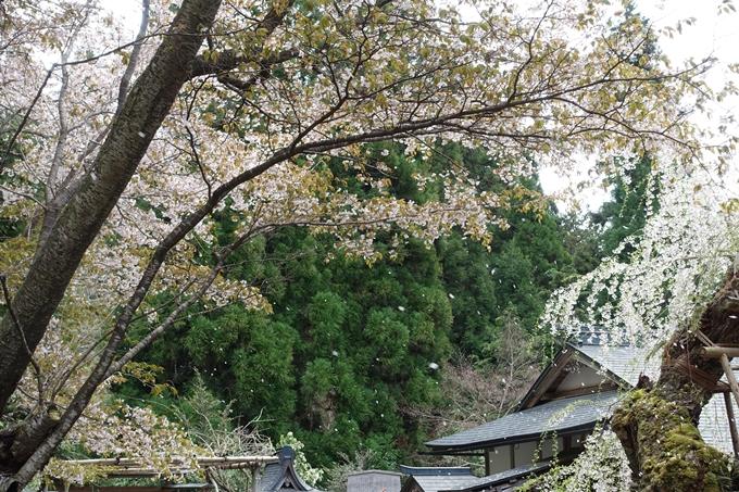 京都桜速報2018_23 No21