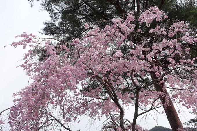 京都桜速報2018_23 No29