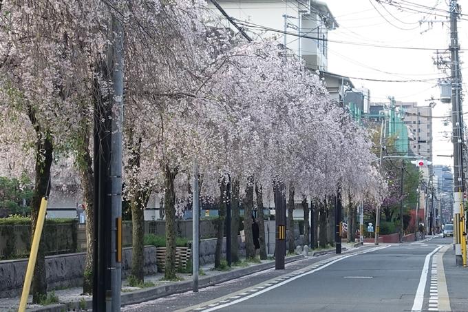 京都桜速報2018_24 No20