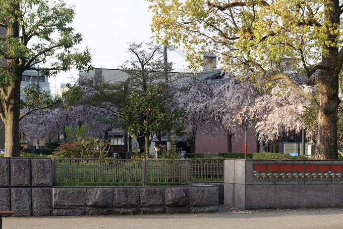 京都桜速報2018_24 No21