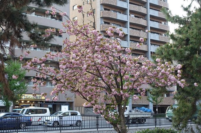 京都桜速報2018_25 No3