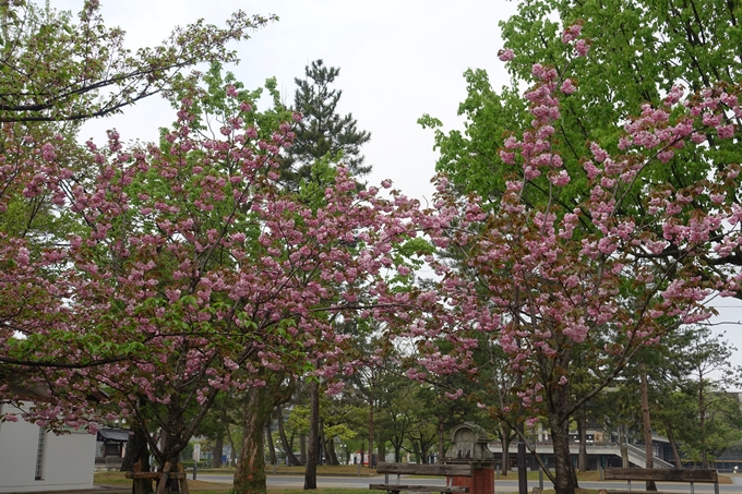 京都桜速報2018_26 No14