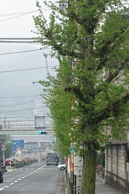 白川通り_いちょう_No2