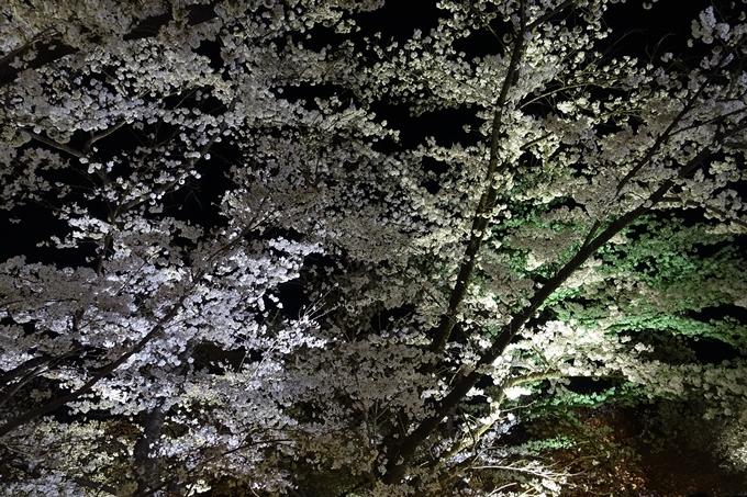 京都桜速報2018_21 No36