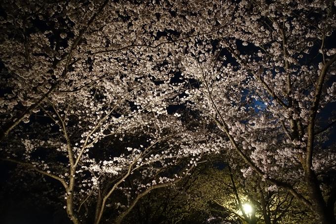 京都桜速報2018_20 No5