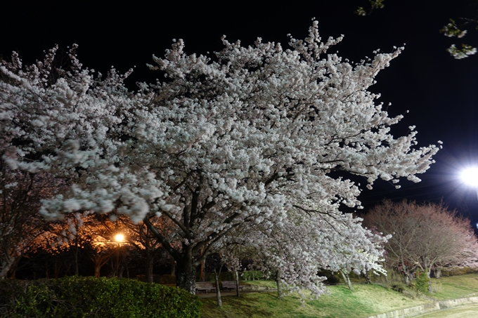 京都桜速報2018_20 No10