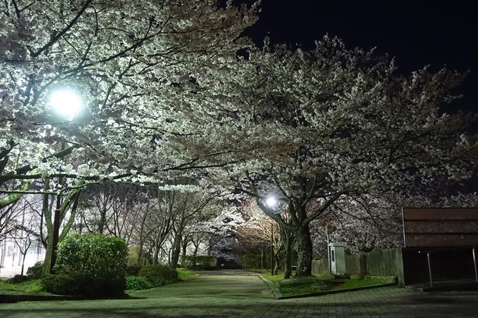 京都桜速報2018_20 No11