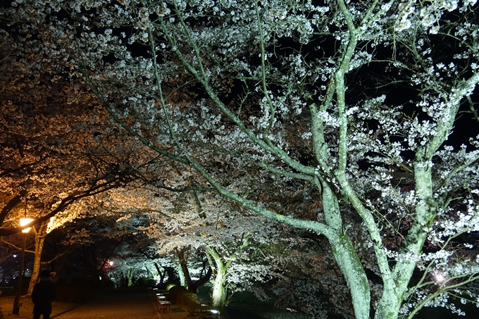 京都桜速報2018_20 No32