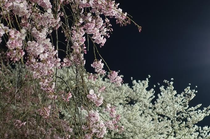 京都桜速報2018_20 No34