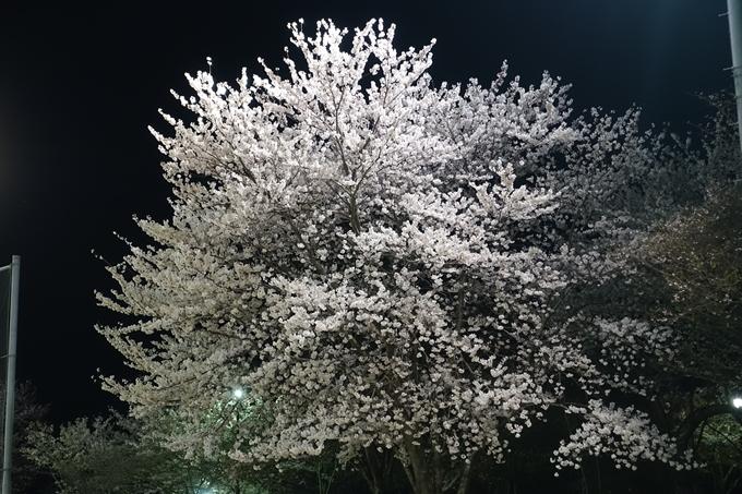 京都桜速報2018_20 No35