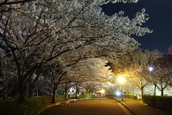 京都桜速報2018_20 No38