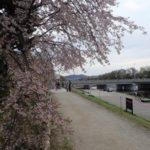 京都桜速報2018 その20 半木の道