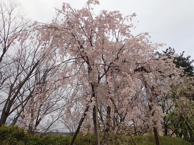 京都桜速報2018_1_20 No6