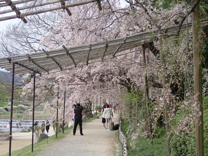 京都桜速報2018_1_20 No11