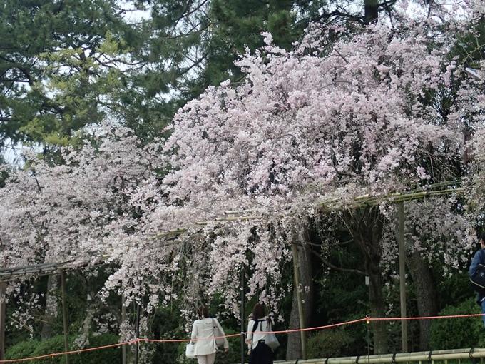 京都桜速報2018_1_20 No13