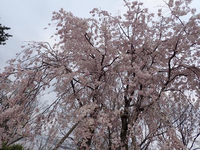 京都桜速報2018_1_20 No18