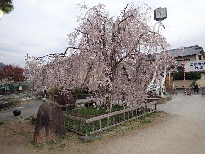 京都桜速報2018_1_20 No19