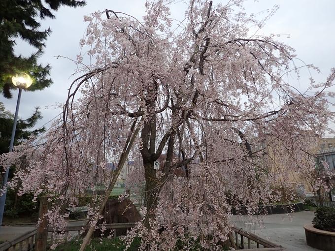 京都桜速報2018_1_20 No20
