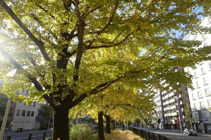 京都紅葉速報2018 その10 堀川街路樹のいちょう No16