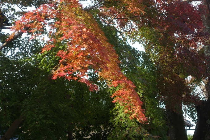 京都紅葉速報2018 その12 赤山禅院・曼殊院門跡・鷺森神社 No39