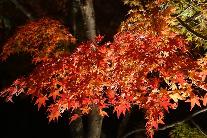 京都のライトアップ2018 北野天満宮 No16