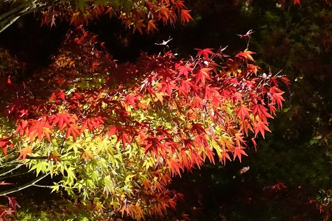 京都のライトアップ2018 梅小路公園 紅葉まつり No8