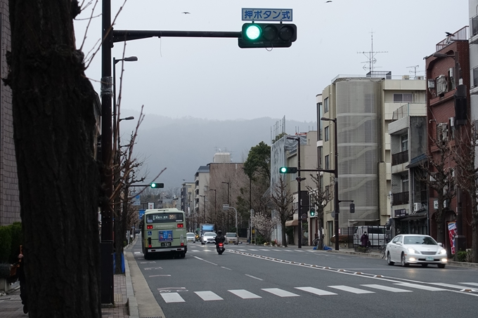 川端丸太町_早咲き桜 No3