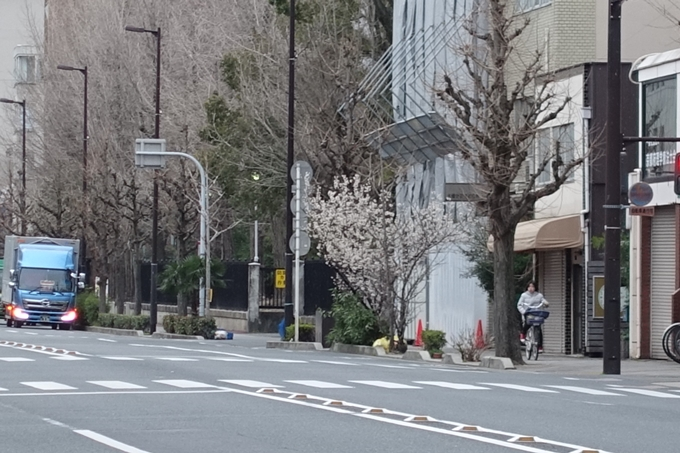 川端丸太町_早咲き桜 No4
