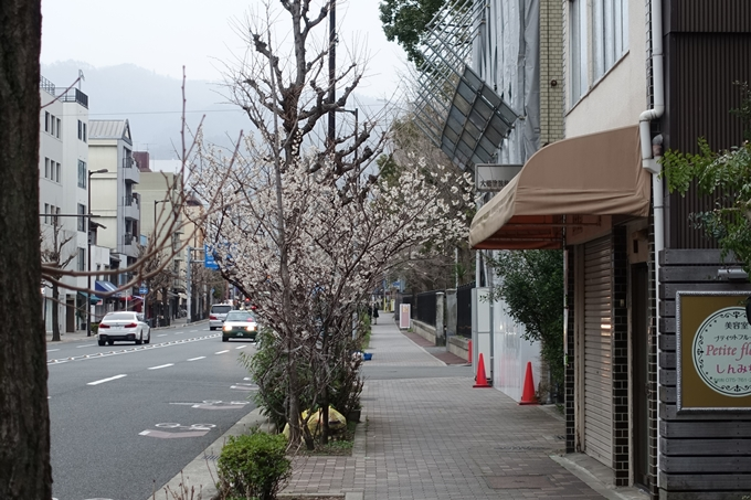 川端丸太町_早咲き桜 No6