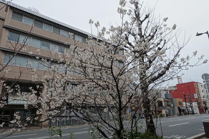 川端丸太町_早咲き桜 No11