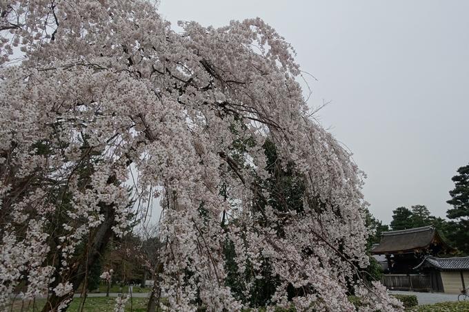 京都桜速報2019_03 No9