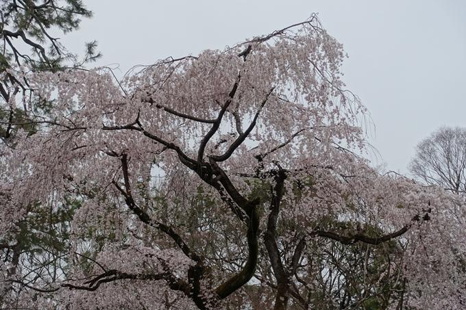 京都桜速報2019_03 No12