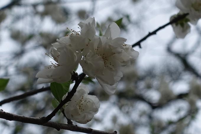 京都桜速報2019_03 No14