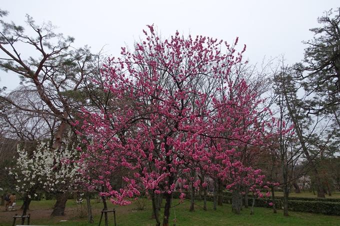 京都桜速報2019_03 No18
