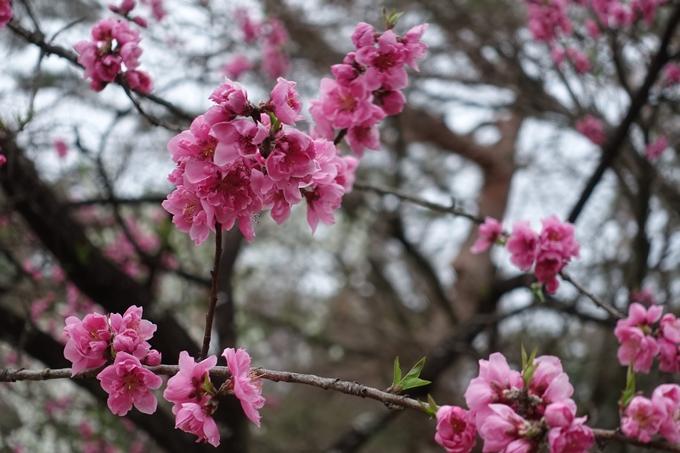 京都桜速報2019_03 No20