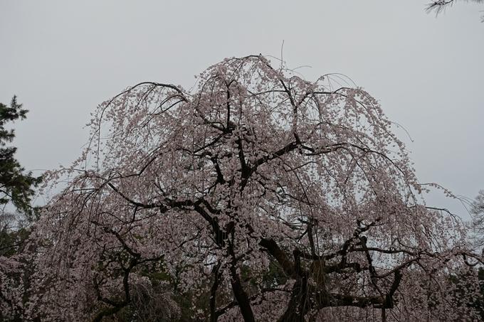 京都桜速報2019_03 No21