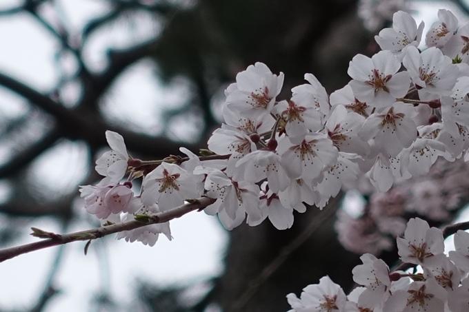 京都桜速報2019_03 No23