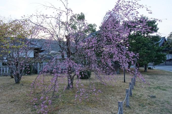 京都桜速報2019_05 No5