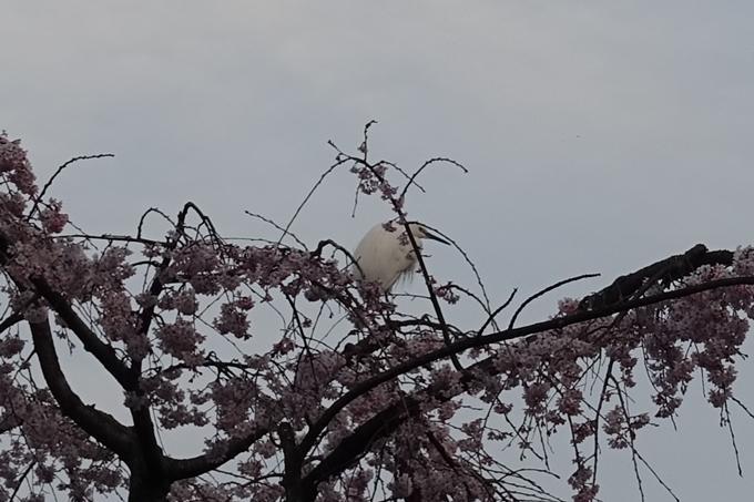 京都桜速報2019_06 No15