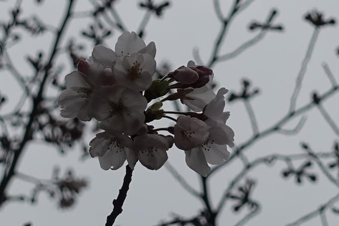 京都桜速報2019_07 No9