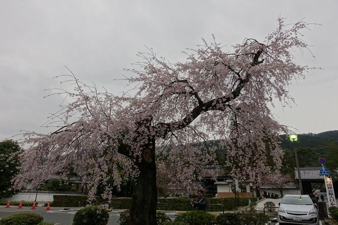 京都桜速報2019_08 No2