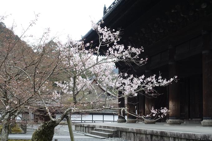 京都桜速報2019_08 No8