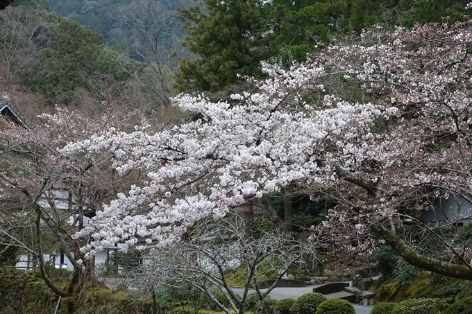 京都桜速報2019_08 No12