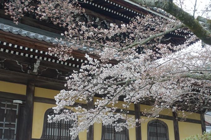 京都桜速報2019_08 No13