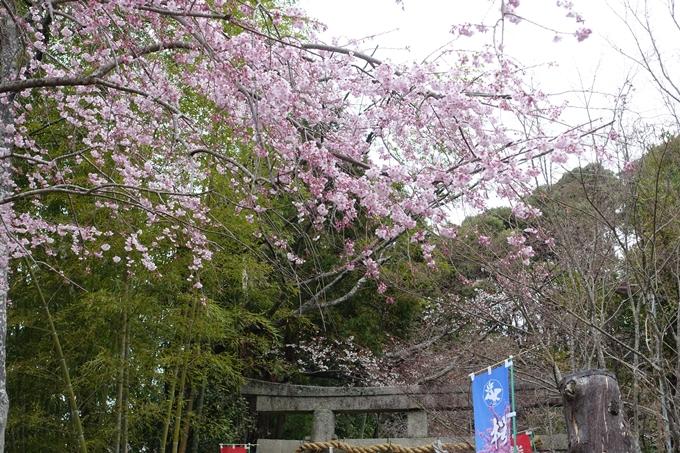 京都桜速報2019_11 No3