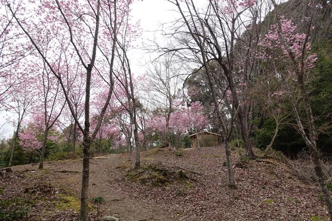 京都桜速報2019_11 No7