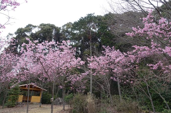 京都桜速報2019_11 No8