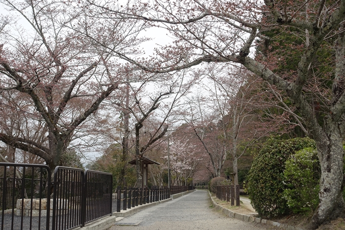 京都桜速報2019_09 No2